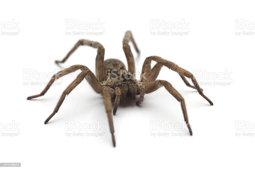 Large tarantula on white surface stock photo