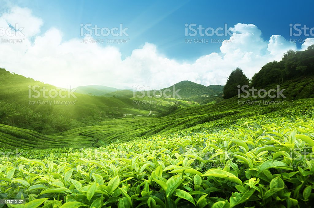 Large tea plantation in Cameron highlands, Malaysia stock photo