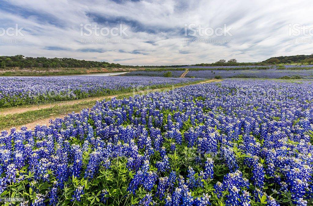 Large Texas bluebonnet field in Muleshoe Bend, Austin, TX stock photo