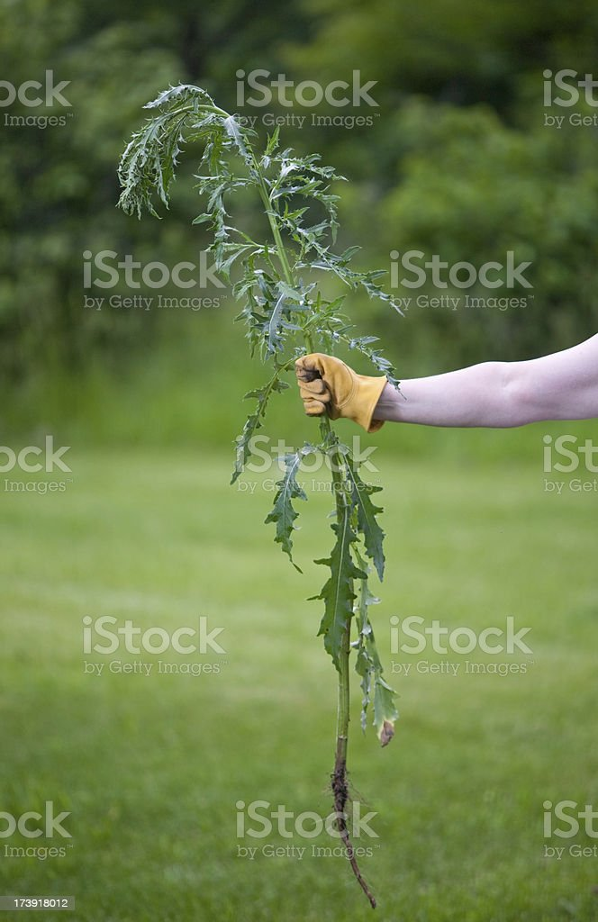 large thistle weed pulled stock photo