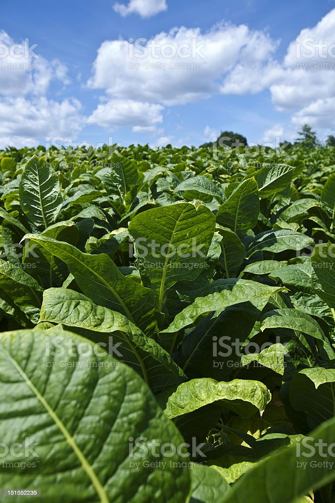 Large tobacco plant field filled with green leaves stock photo