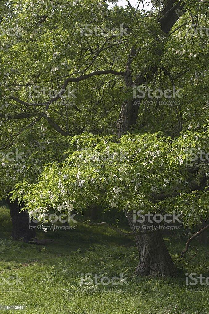 Robinia the false acacia in bloom stock photo