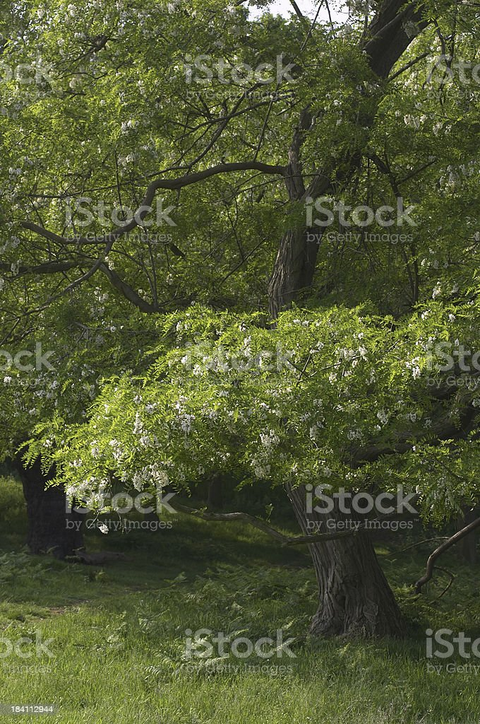 Robinia the false acacia in bloom stock photo