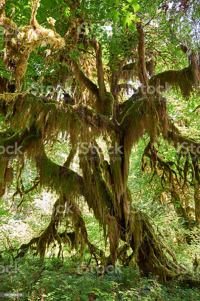 Large tree covered with moss in rainforest in Washington stock photo