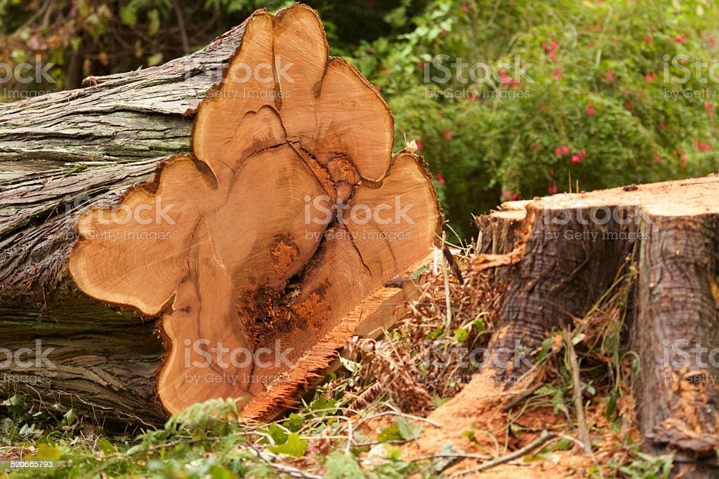 Large Tree cut down stock photo