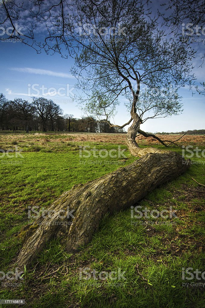 large tree growing along the ground stock photo