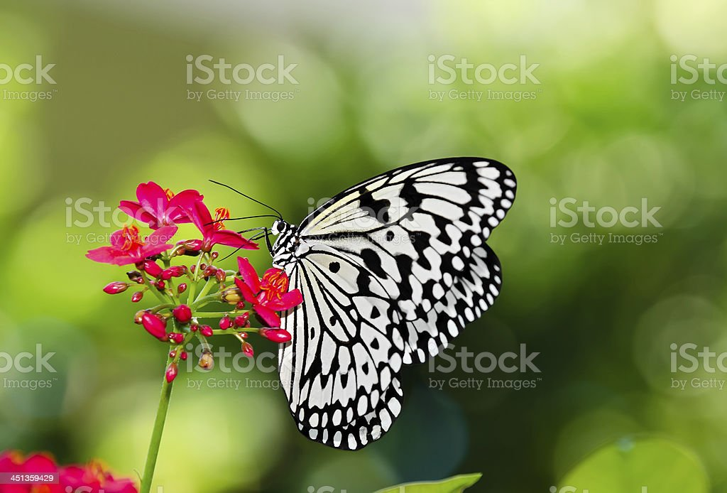 Large Tree Nymph butterfly, aka Paper Kite stock photo