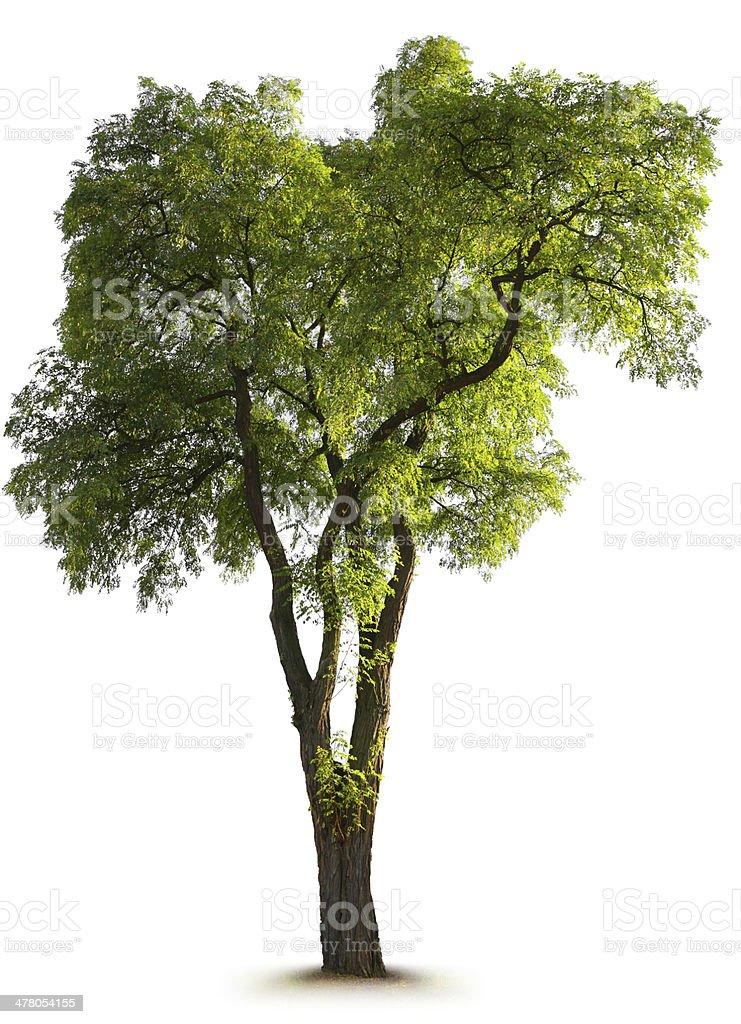 Large Tree royalty-free stock photo
