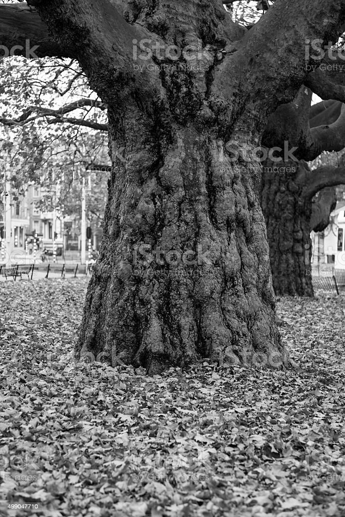 Large Tree Trunk in a park stock photo