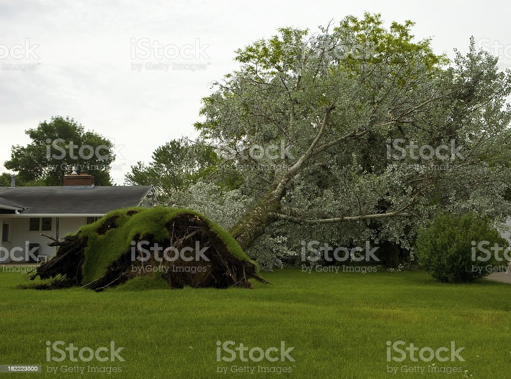 Large Tree Uprooted from a Tornado royalty-free stock photo