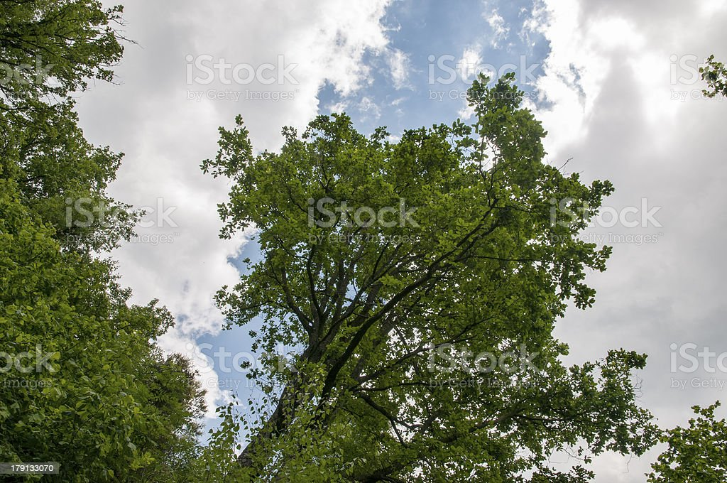 large tree with sky royalty-free stock photo