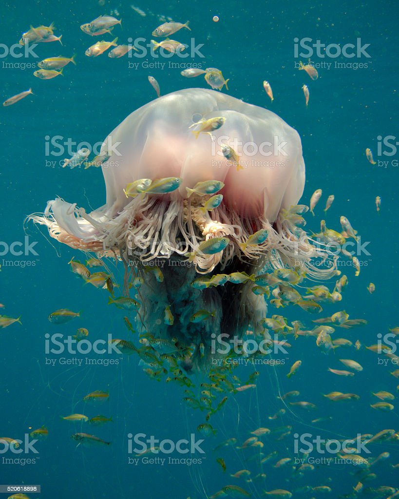 Large tropical jellyfish hosting a school of juvenile fish stock photo