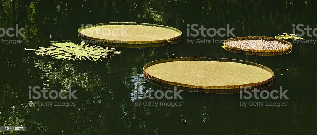 Large tropical lily pads in dark pond surrounded by trees stock photo