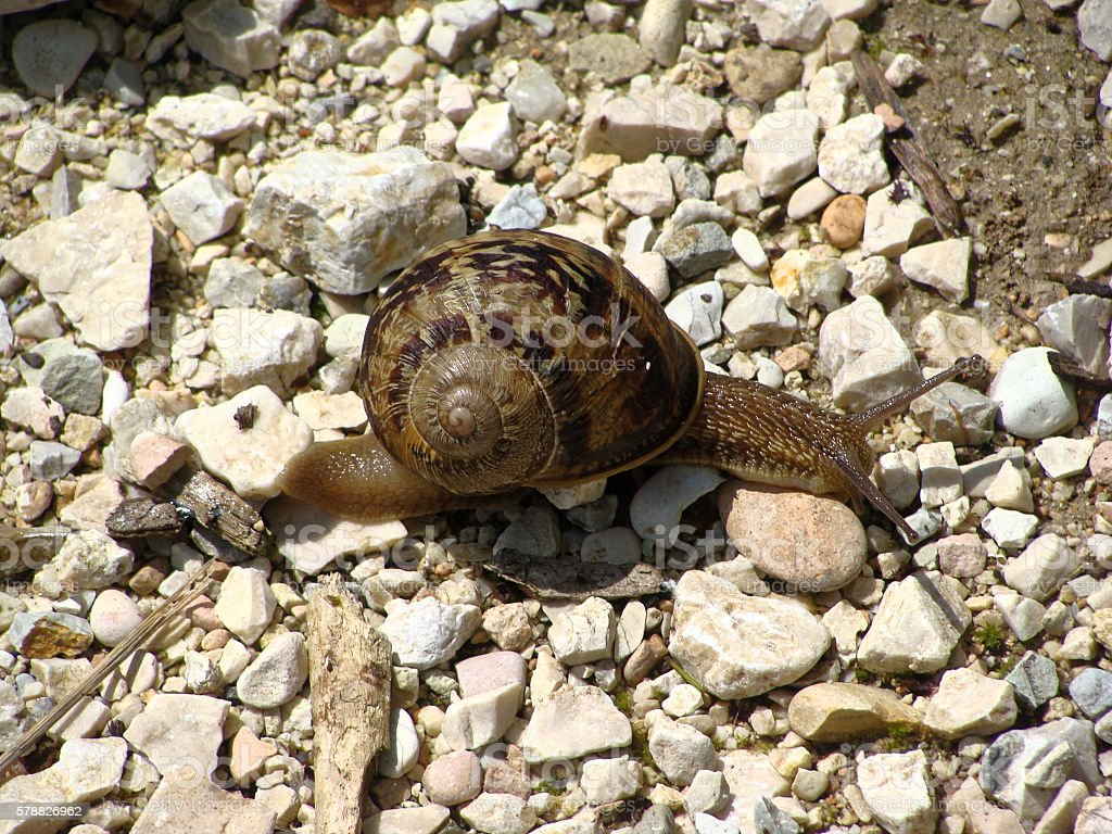 Large tropical terrestrial snail class Gastropoda stock photo