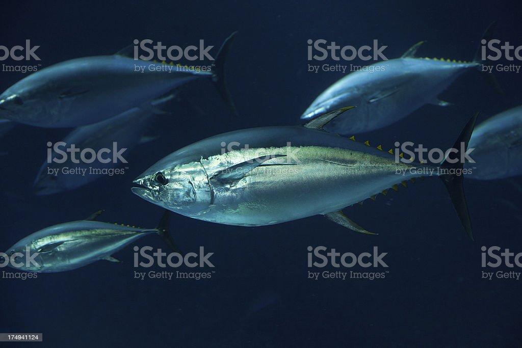 Large tuna fish underwater. stock photo