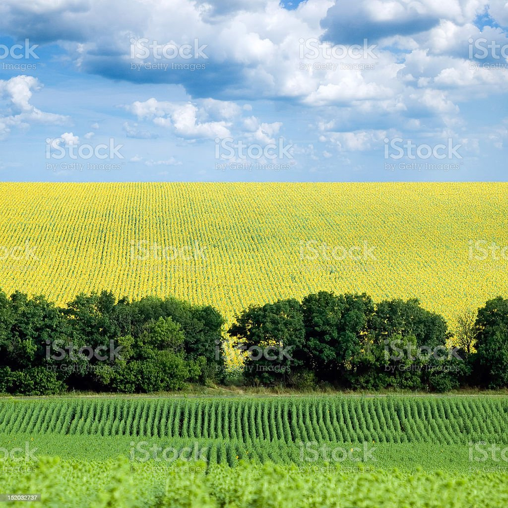 A large view of a sunflower field on a cloudy day stock photo