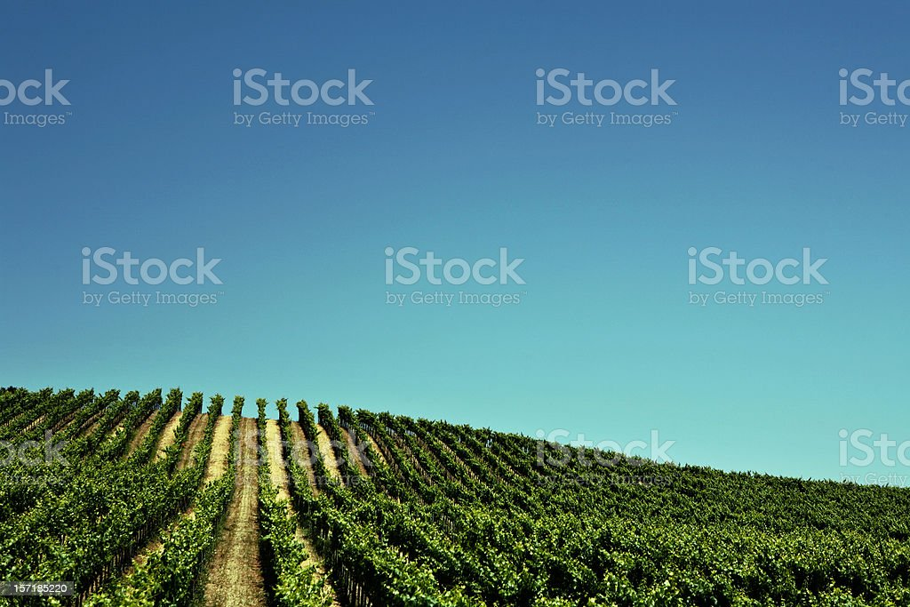 Large Vinyard in California royalty-free stock photo