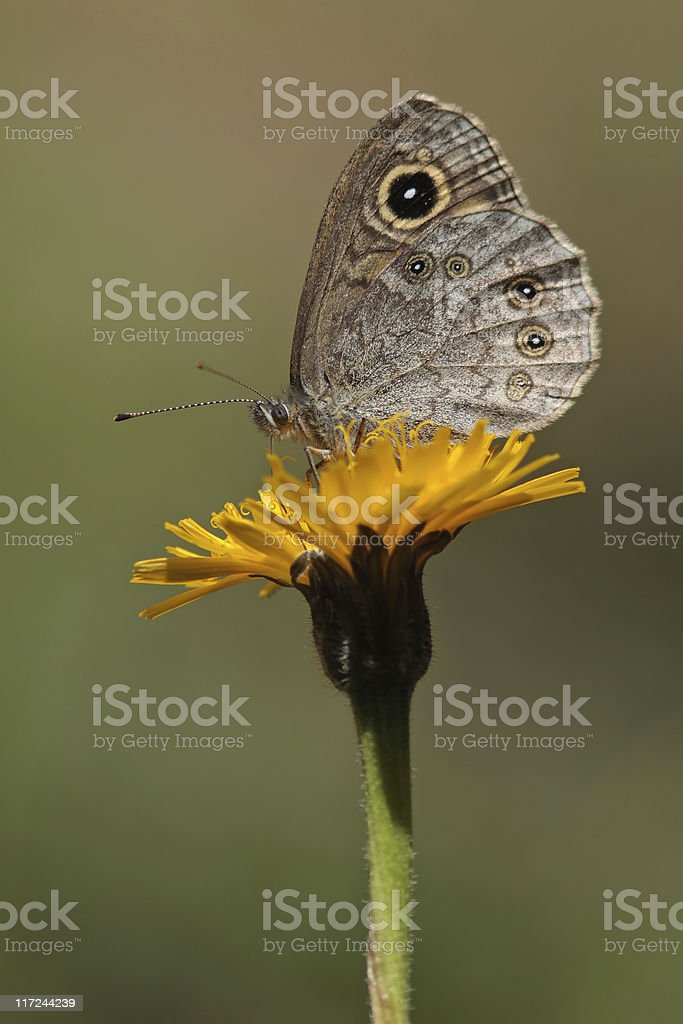 Large wall brown butterfly stock photo