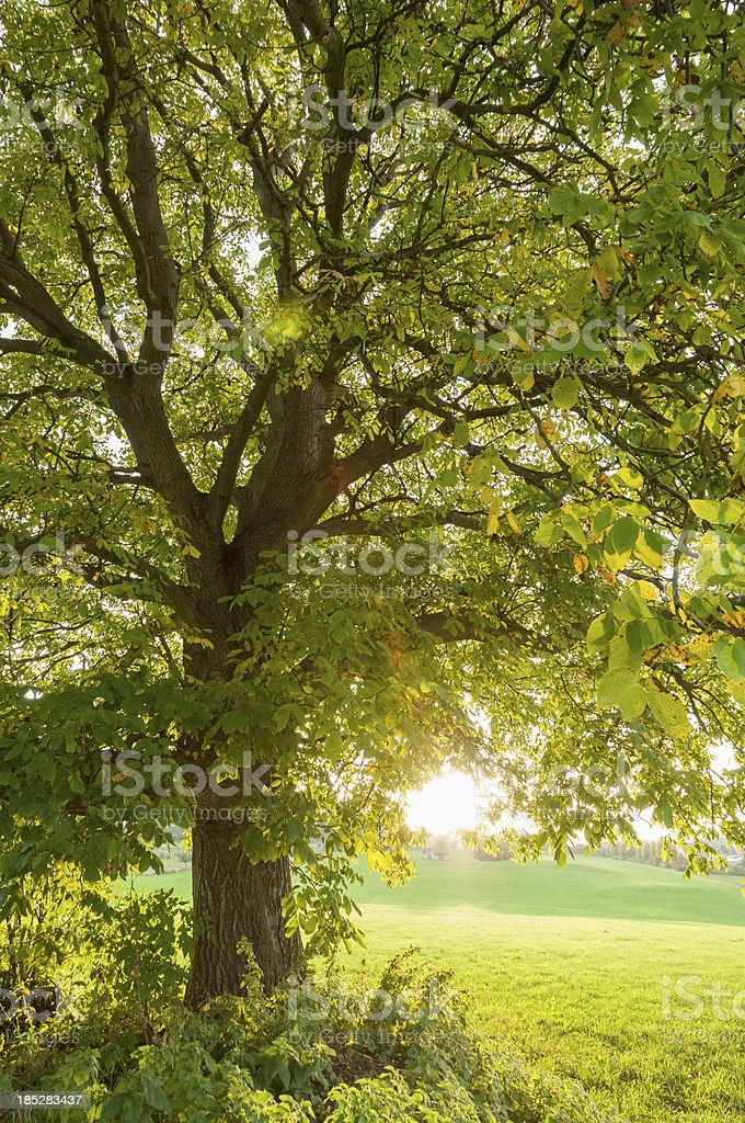 Large walnut tree (Juglans regia) in the evening light, autumn stock photo