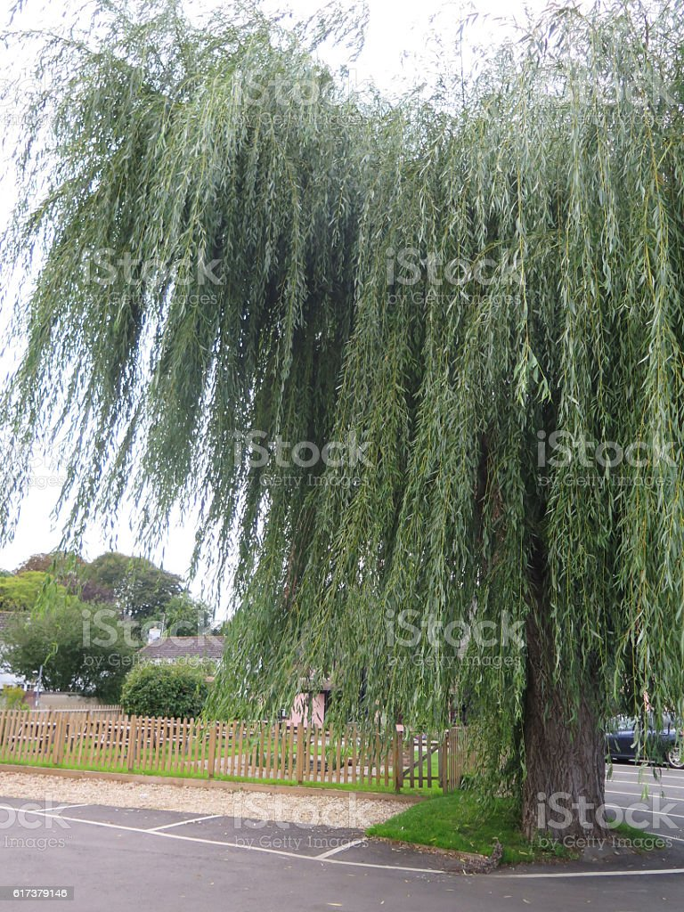 Large weeping willow stock photo