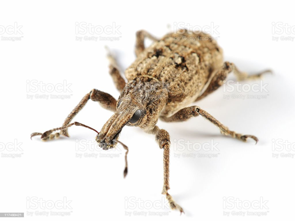 Large weevil stock photo