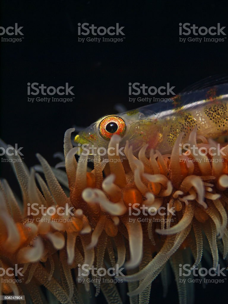 Large Whip Goby  (Bryanopsis amplus) stock photo