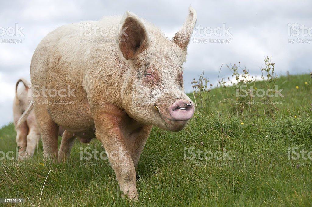 Large white breeding boar pig stock photo