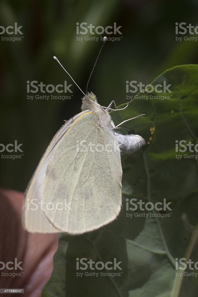 Large White butterfly egg-laying on a  cabbage leaf royalty-free stock photo
