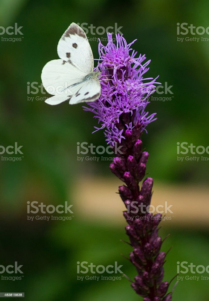 Large white butterfly on purple Gayfeather flower royalty-free stock photo