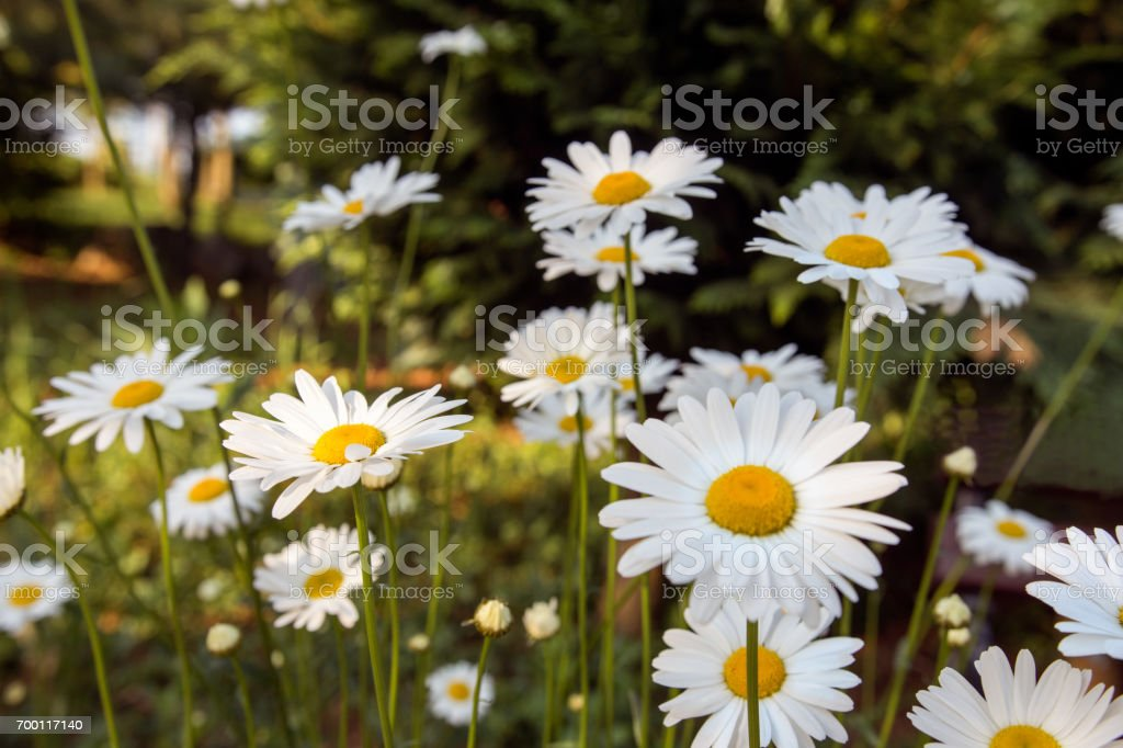 Large white daisies in nature stock photo