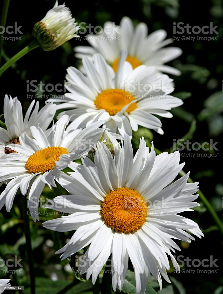 large white flower daisies with pure white petals stock photo