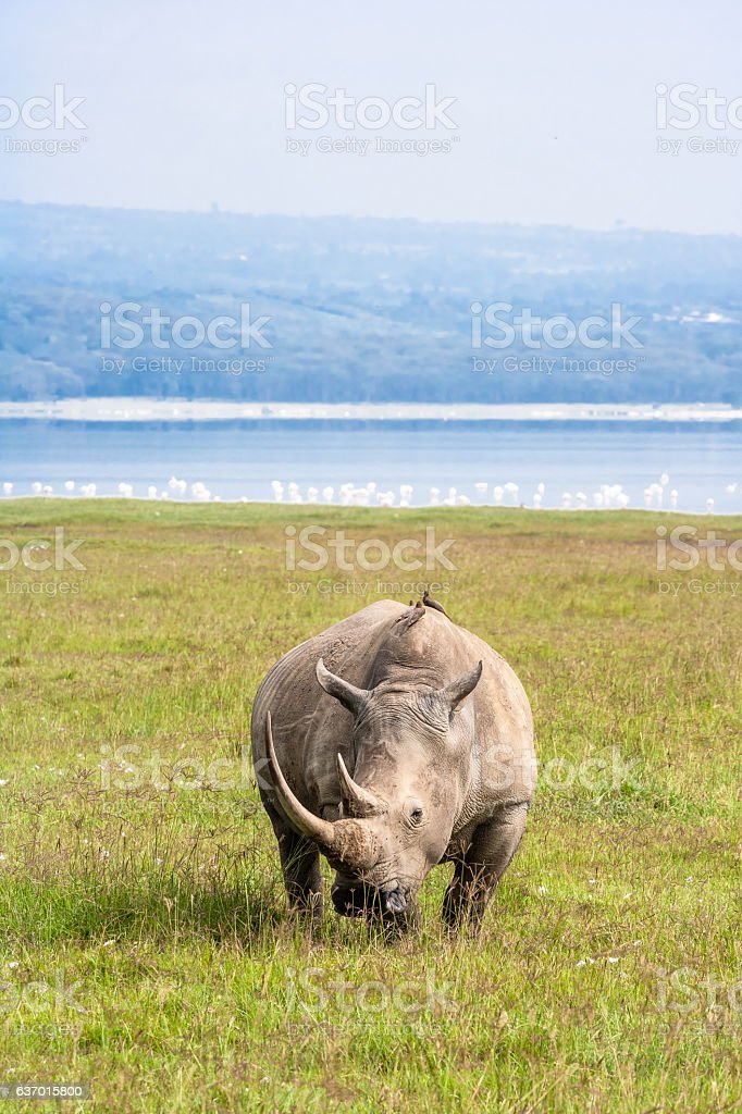 Large white rhino. Nakuru, Kenya stock photo