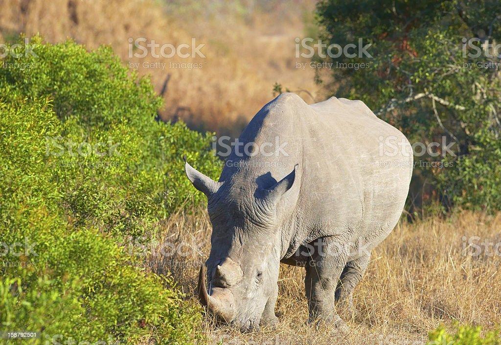 Large white rhinoceros royalty-free stock photo