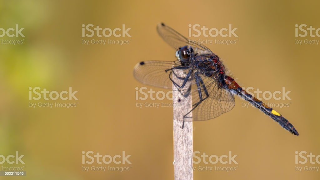 Large white-faced darter perched on stick stock photo