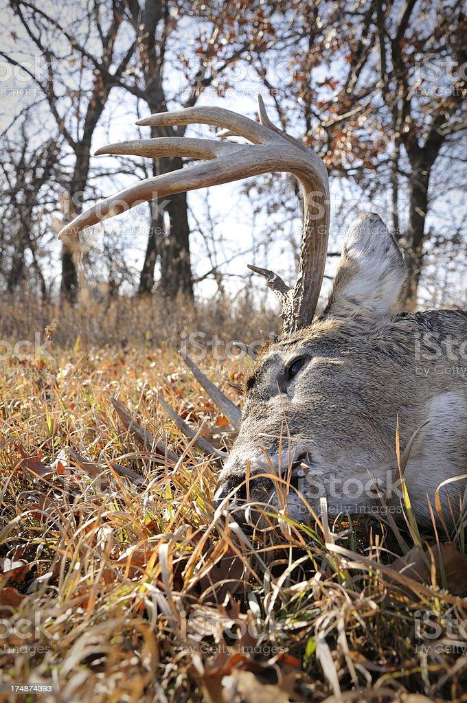 large whitetail buck royalty-free stock photo