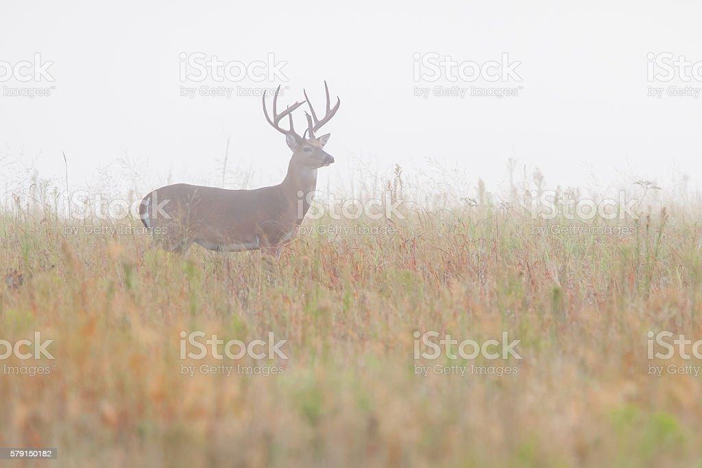 Large Whitetail Deer Buck in Fog, Wichita Mountains, Oklahoma stock photo