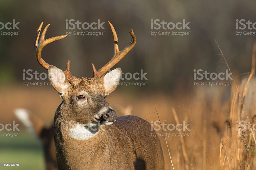 Large white-tailed deer buck stock photo