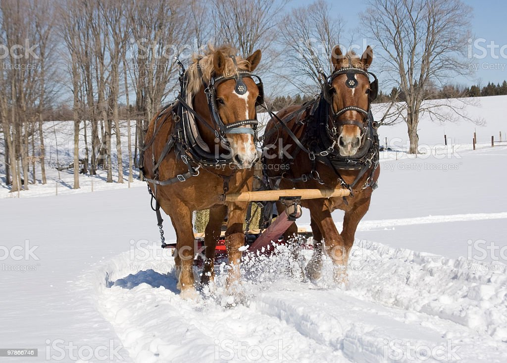 Large work horses pullin sliegh in winter stock photo