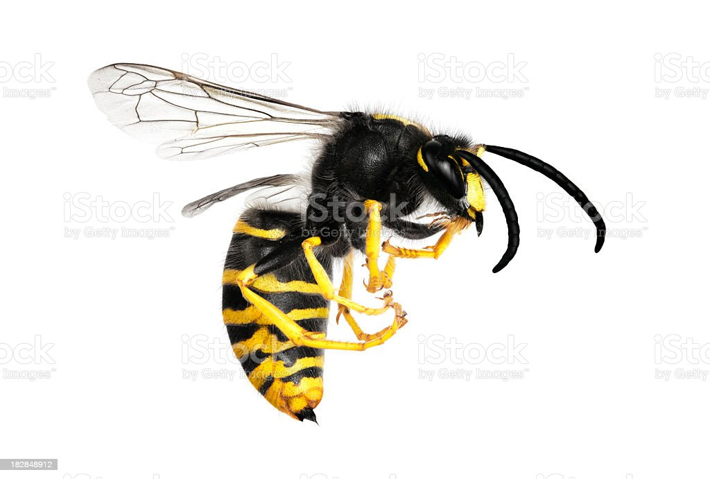 A large yellow and black wasp isolated on white stock photo
