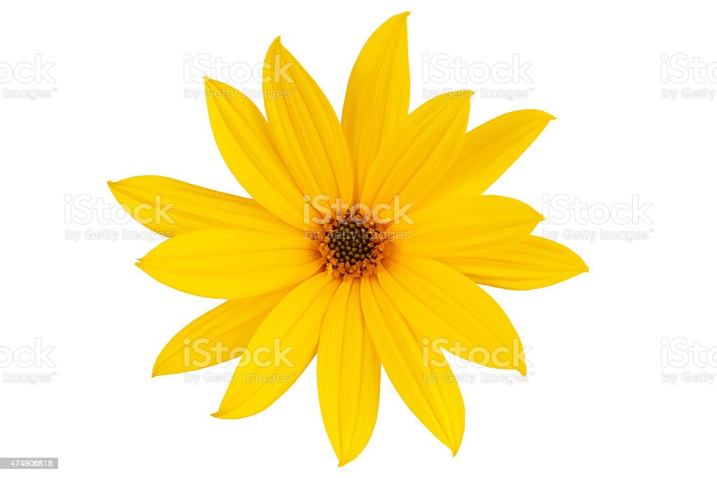 Large yellow daisy stock photo