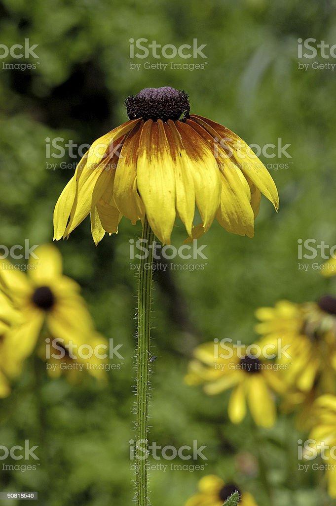 large yellow daisy royalty-free stock photo