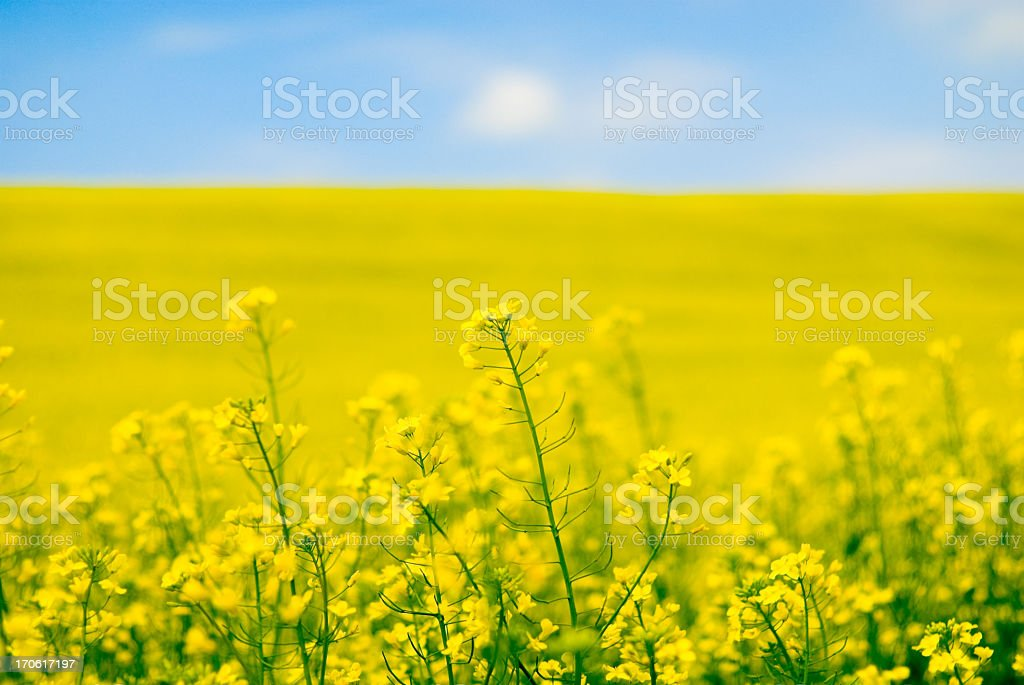 Large yellow field of rape seeds stock photo