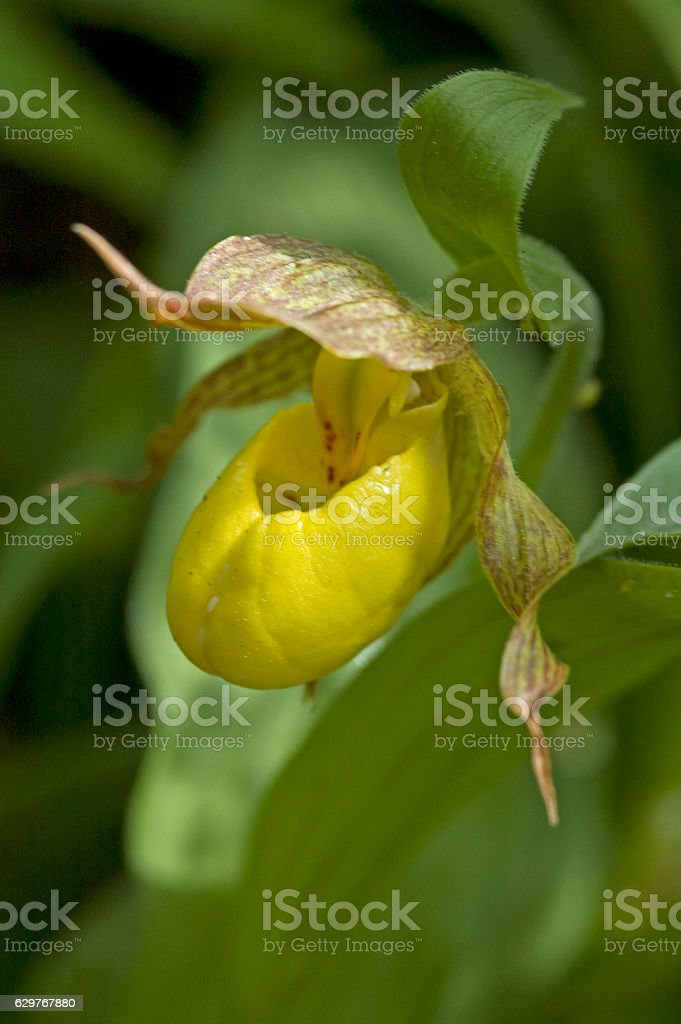 Large yellow lady's slipper (Cypripedium pubescens) stock photo