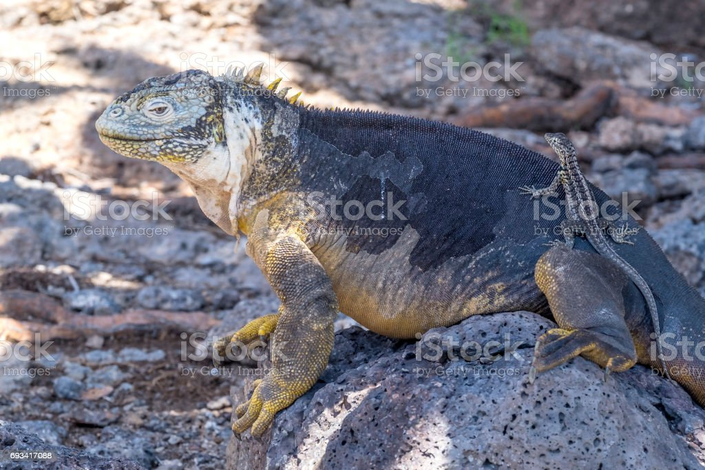 Large Yellow Land Iguana on South Plaza, Galapagos Islands stock photo