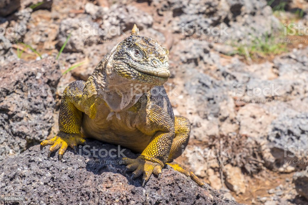 Large Yellow Land Iguana on South Plaza Island, Galapagos Islands stock photo