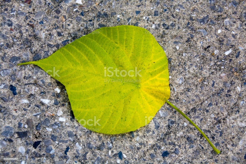 A large yellow-green leaf of the plant lies on a stony background. stock photo
