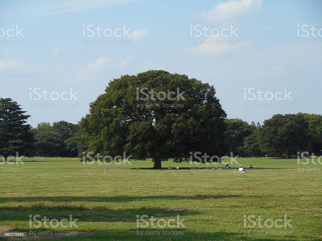 Large zelkova of the park stock photo