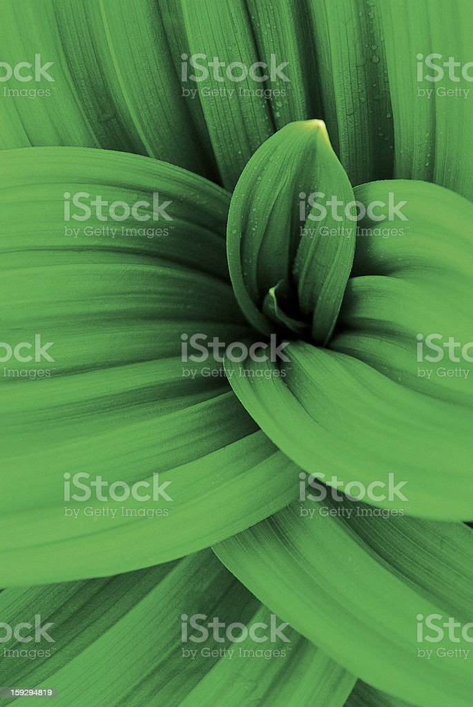 Large-leaved Gentian stock photo