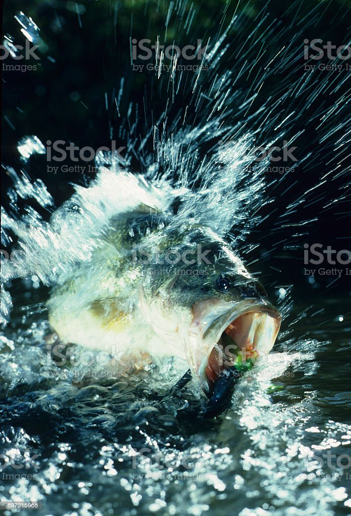 Largemouth Bass 3122 stock photo