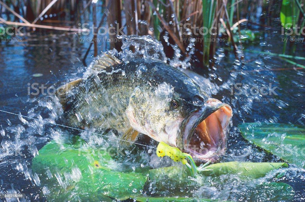 Largemouth Bass 3200 stock photo